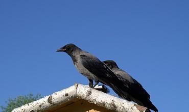 crow-1442506_960_720.jpg