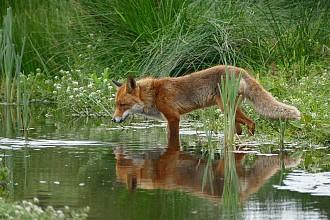 fox-1540833_960_720.jpg